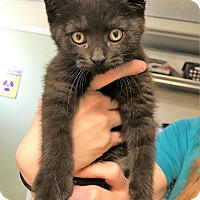 Adopt A Pet :: Puma - Toledo, OH