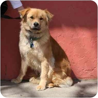Chow Chow Mix Dog for adoption in Denver, Colorado - Cinnamon