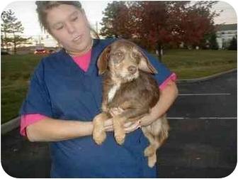 Schnauzer (Miniature)/Terrier (Unknown Type, Small) Mix Dog for adoption in Cincinnati, Ohio - Hattie