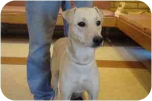 Greyhound/Labrador Retriever Mix Dog for adoption in Phoenix, Arizona - Catalina