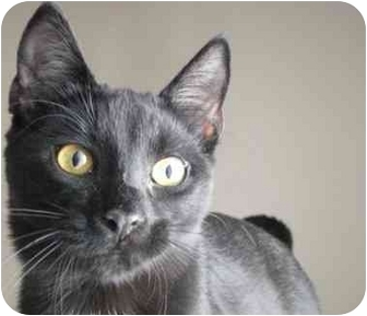 Domestic Shorthair Kitten for adoption in Toronto, Ontario - Rock