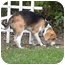 Photo 2 - Beagle Dog for adoption in Oak Forest, Illinois - Bones