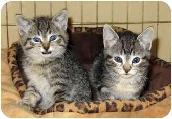 Domestic Mediumhair Kitten for adoption in Red Deer, Alberta - Lexus