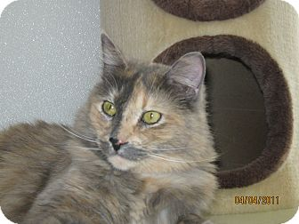 Japanese Bobtail Cat for adoption in Colorado Springs, Colorado - Novalee