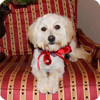 Bichon Frise Mix Dog for adoption in Newport Beach, California - DULCE