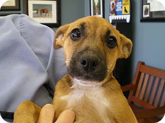 Chihuahua/Rat Terrier Mix Puppy for adoption in Apex, North Carolina - Chewy