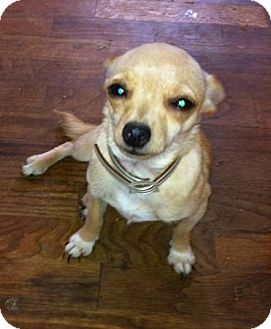 Chihuahua/Yorkie, Yorkshire Terrier Mix Puppy for adoption in Cranford, New Jersey - Sugar Baby