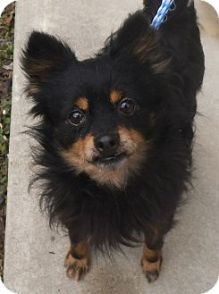 Pomeranian/Chihuahua Mix Dog for adoption in Middletown, New York - Rootie