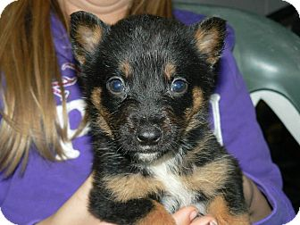 Blue Heeler Mix Puppy for adoption in New Oxford, Pennsylvania - Fiona