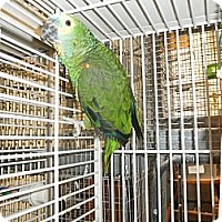 Amazon for adoption in Neenah, Wisconsin - Winger