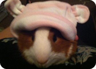 Guinea Pig for adoption in Cerritos, California - Nacho