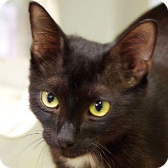 Domestic Shorthair Cat for adoption in Daytona Beach, Florida - Melrose