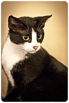 Domestic Shorthair Cat for adoption in Houston, Texas - Sandy
