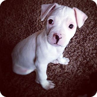 American Pit Bull Terrier Mix Puppy for adoption in Mansfield, Ohio - Miles