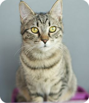 Domestic Shorthair Kitten for adoption in Richmond, Virginia - Seven
