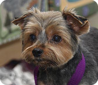 Yorkie, Yorkshire Terrier Mix Dog for adoption in Marietta, Ohio - Ralph (Neutered)