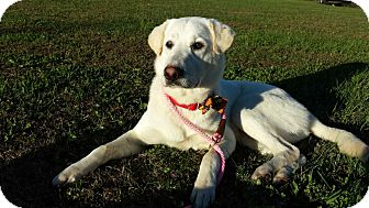 Labrador Retriever Mix Dog for adoption in New Oxford, Pennsylvania - Boulder