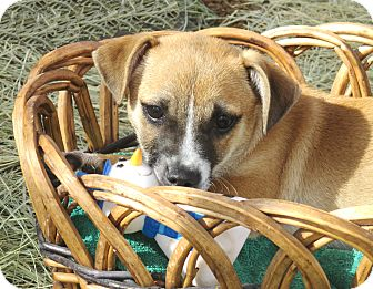 Chihuahua Mix Puppy for adoption in Godley, Texas - Rascal