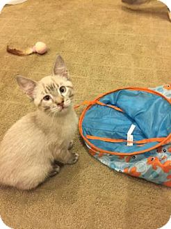 Siamese Kitten for adoption in Lake Elsinore, California - Spice