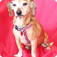Dachshund Dog for adoption in Umatilla, Florida - Fritzi