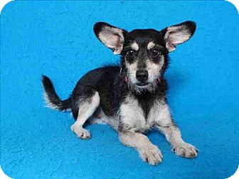 Terrier (Unknown Type, Small) Mix Dog for adoption in Encino, California - Sammy