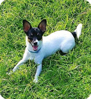 Toy Fox Terrier Dog for adoption in Terra Ceia, Florida - FRIEDA