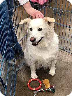 Australian Shepherd Mix Dog for adoption in ST LOUIS, Missouri - Lady