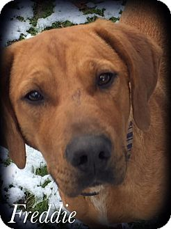 Rhodesian Ridgeback Mix Dog for adoption in Woodsfield, Ohio - Freddy