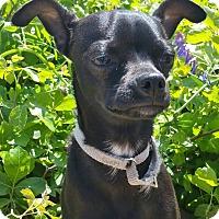 Adopt A Pet :: Dillinger-ADOPTION PENDING - Bridgeton, MO