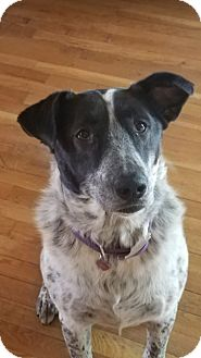Border Collie/Australian Shepherd Mix Dog for adoption in Eureka Springs, Arkansas - Millie