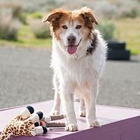 Adopt A Pet :: Ranger - Washoe Valley, NV