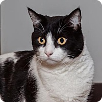 Domestic Shorthair Cat for adoption in Mission Hills, California - Oreo
