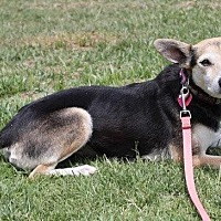 Beagle/Rat Terrier Mix Dog for adoption in Winters, California - Bea