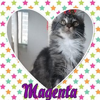 Domestic Longhair Kitten for adoption in Cedar Springs, Michigan - Magenta