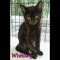 Adopt A Pet :: Whitney - Atco, NJ