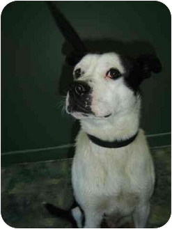 Staffordshire Bull Terrier Mix Dog for adoption in Rigaud, Quebec - Roscoe