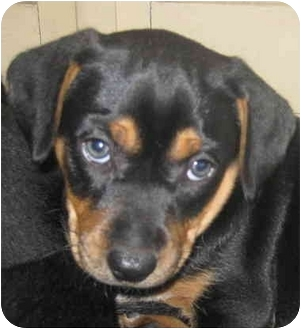 Beagle/Rottweiler Mix Puppy for adoption in Chicago, Illinois - Jewels(ADOPTED!)