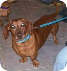 Dachshund Mix Dog for adoption in Randolph, New Jersey - Subway