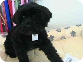 Cockapoo Mix Puppy for adoption in Poway, California - NICKY
