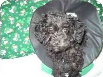 Poodle (Miniature) Mix Puppy for adoption in McArthur, Ohio - Skittles