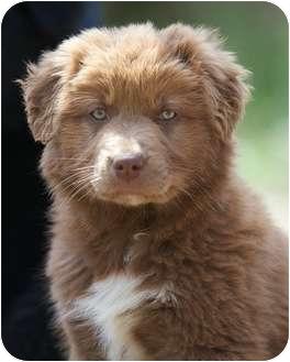 Newfoundland/Australian Shepherd Mix Puppy for adoption in Providence, Rhode Island - Lola