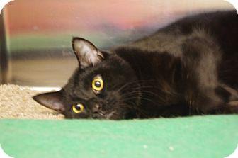 Bombay Cat for adoption in Elyria, Ohio - Howard