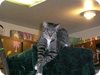 Domestic Shorthair Cat for adoption in Laguna Woods, California - Gimini
