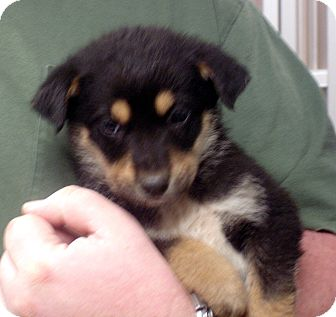 German Shepherd Dog Mix Puppy for adoption in Greencastle, North Carolina - lancelot