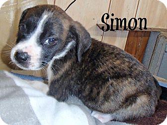 Boxer Mix Puppy for adoption in Groton, Massachusetts - Simon