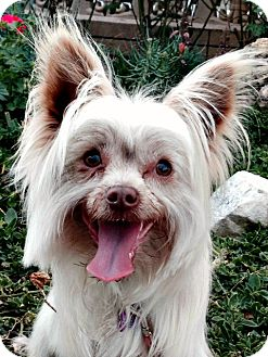 Yorkie, Yorkshire Terrier/Skye Terrier Mix Dog for adoption in Los Angeles, California - Prince Harry