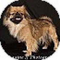 Adopt A Pet :: Shish - Hales Corners, WI
