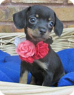 Chihuahua/Dachshund Mix Puppy for adoption in Benbrook, Texas - Ariel