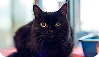 Domestic Shorthair Kitten for adoption in Fredericksburg, Virginia - Lola