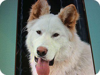 German Shepherd Dog Mix Dog for adoption in Los Angeles, California - KLONDIKE VON KONIG